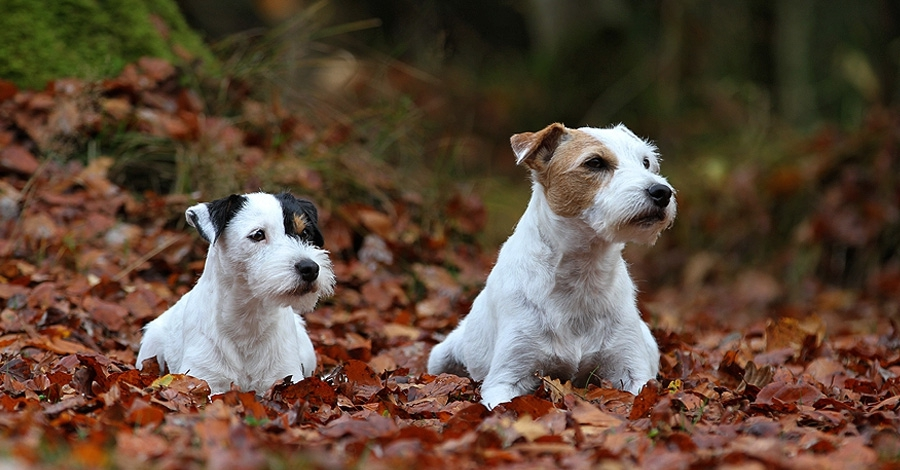 luna_charlie_parson_russell_terrier